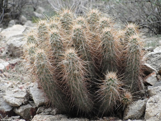 Hedgehog Cactus White Tank Mountains