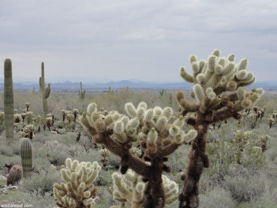 Teddy Bear Cholla Cactus White Tank Mountains