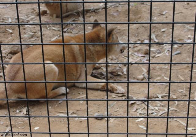 New Guinea Singing Dog Wildlife World Zoo and Aquarium: WildTalesof.com