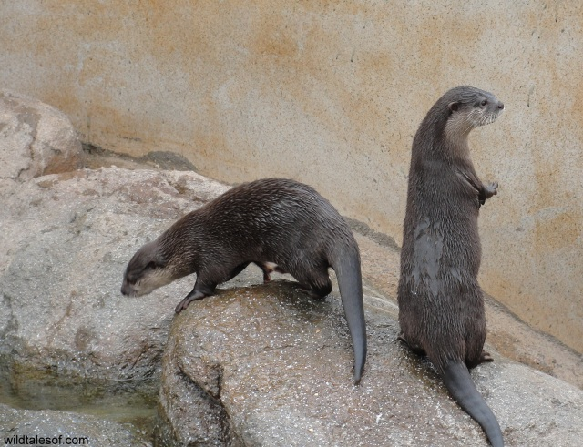 River Otters Wildlife World Zoo and Aquarium: WildTalesof.com
