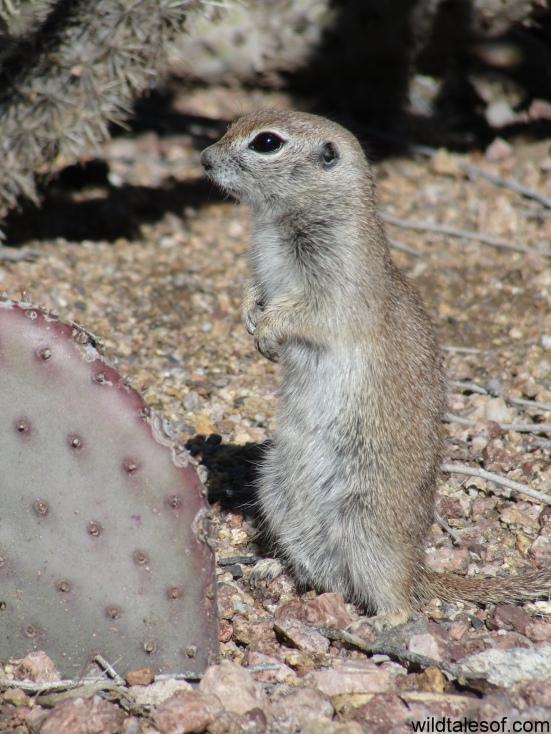 Ground Squirrel Desert Botanical Garden: WildTalesof.com