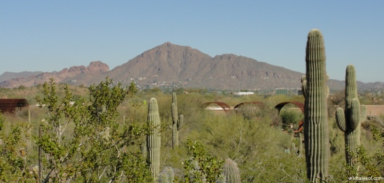 View of Camelback Mountain: Desert Botanical Garden--www.wildtalesof.com