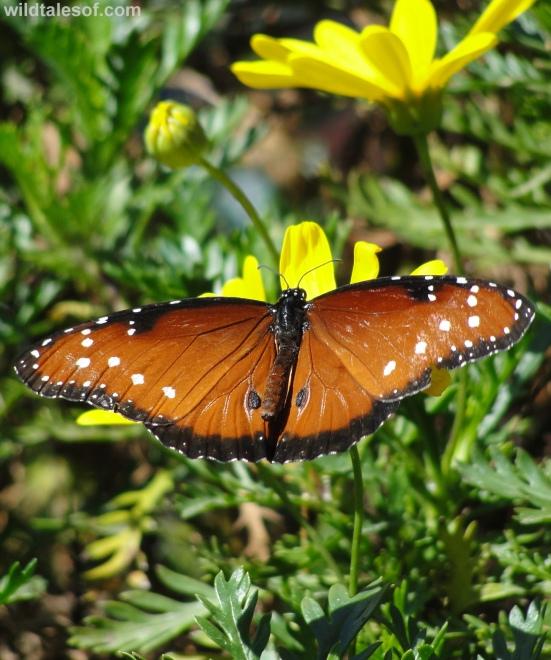 Butterflies: Desert Botanical Garden--www.wildtalesof.com
