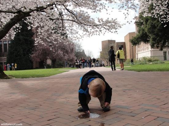 Puddle University of Washington Cherry Blossoms