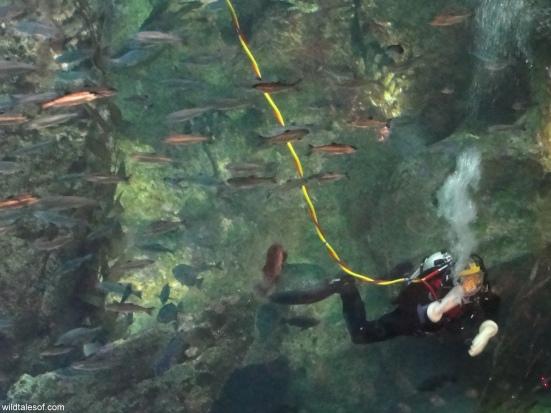 Scuba Diver Seattle Aquarium