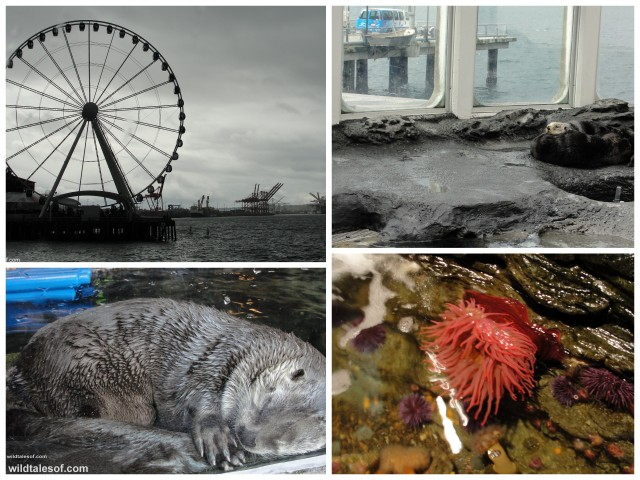 Seattle Aquarium: Sea Otter, Touch Tank, Big Wheel