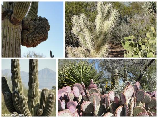 Cactus of the Desert Botanical Garden: WildTalesof.com