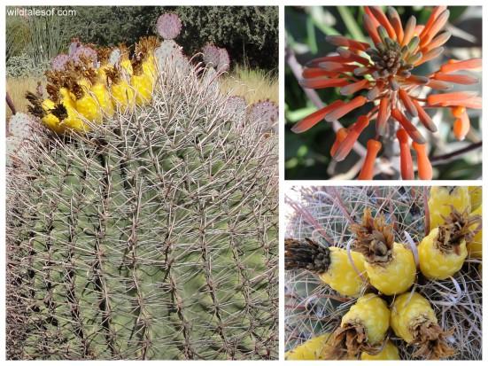 Blooms of the Desert Botanical Garden: WildTalesof.com