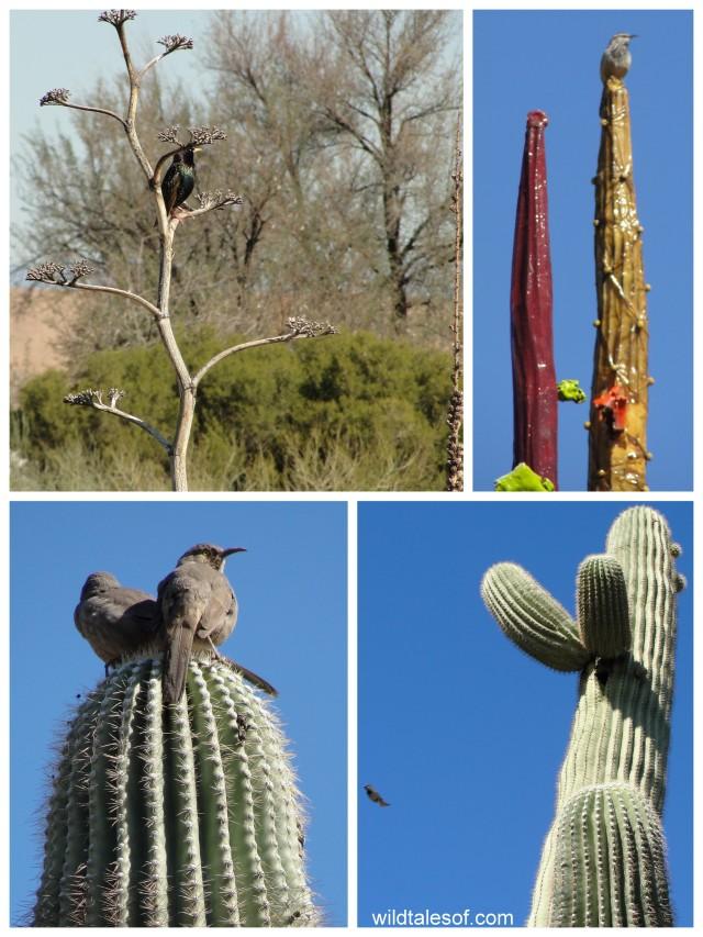 Birds: Desert Botanical Garden--www.wildtalesof.com