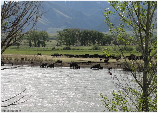 Cows on the Yellowstone River | WildTalesof.com