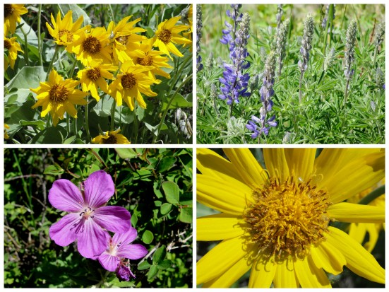 Wildflowers: Hubbard's Yellowstone Lodge   WildTalesof.com