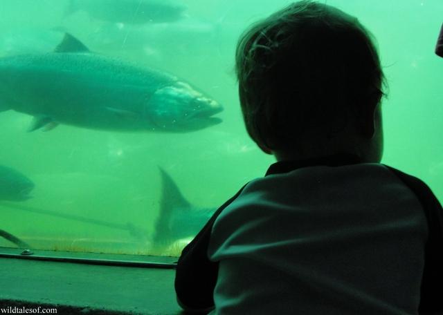 Fish Ladder: Ballard Locks, Seattle | WildTalesof.com