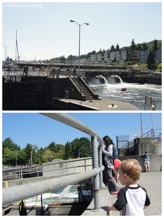 Ballard Locks: Seattle, WA | WildTalesof.com