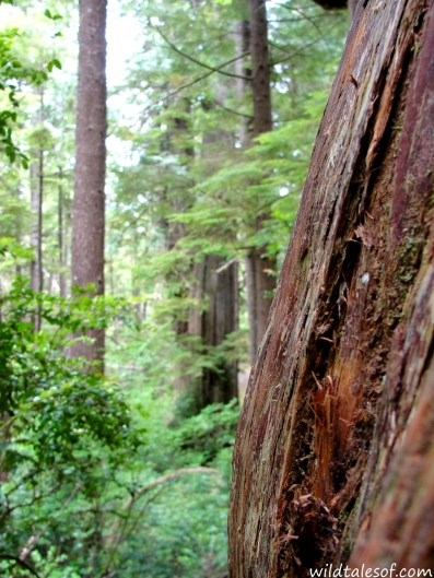 Olympic National Park's Big Cedar: Whoops No Photo. | WildTalesof.com