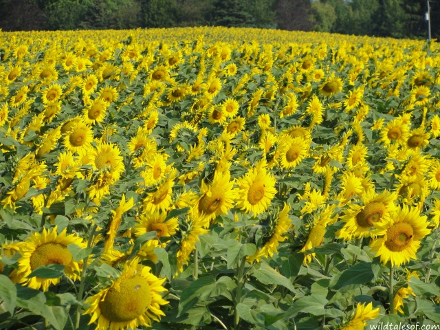 Sunflower field near Algoma, Wisconsin | WildTalesof.com