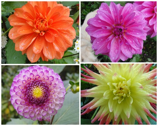 Seattle's Volunteer Park Dahlia Garden | WildTalesof.com