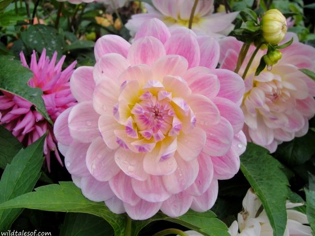 Seattle's Volunteer Park Dahlia Garden | WildTalesof.com