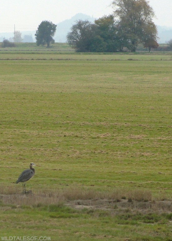 Great Blue Heron--Padilla Bay Shore Trail: Skagit Valley, Washington | WildTalesof.com