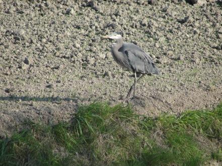 Great Blue Heron: Padilla Bay Shore Trail--Skagit Valley, WA | WildTalesof.com