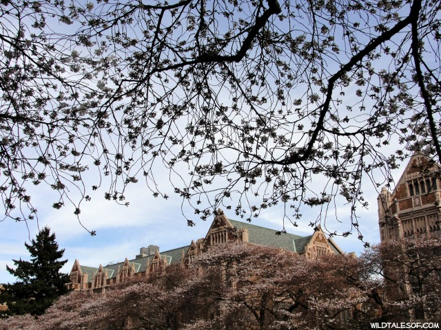 University of Washington Cherry Blossoms | WildTalesof.com