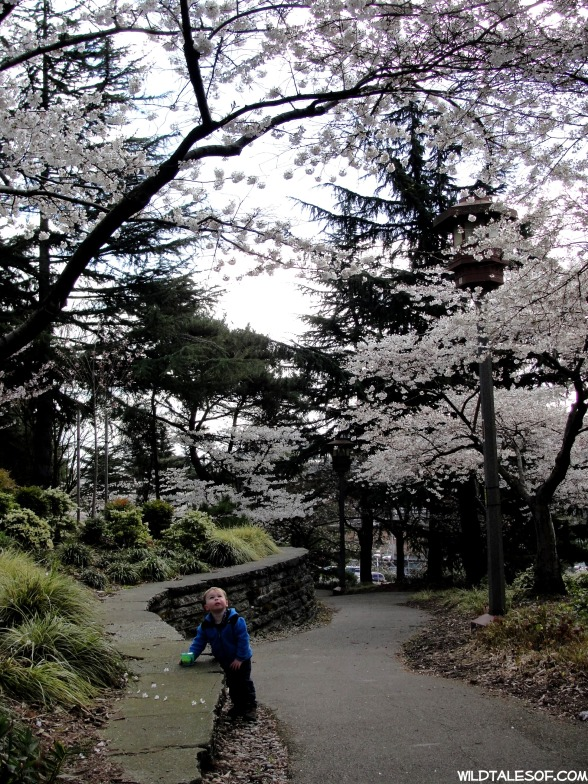Kobe Terrace Park-Seattle Cherry Blossoms | WildTalesof.com