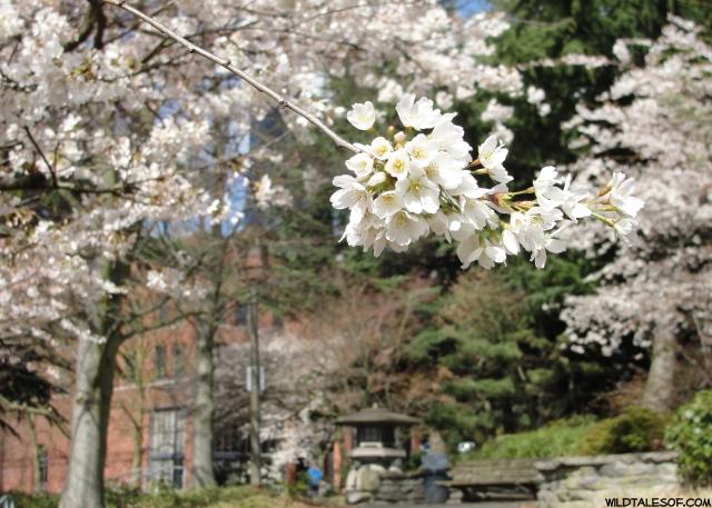 Kobe Terrace Park-Seattle Cherry Blossoms | WildTalesof.com