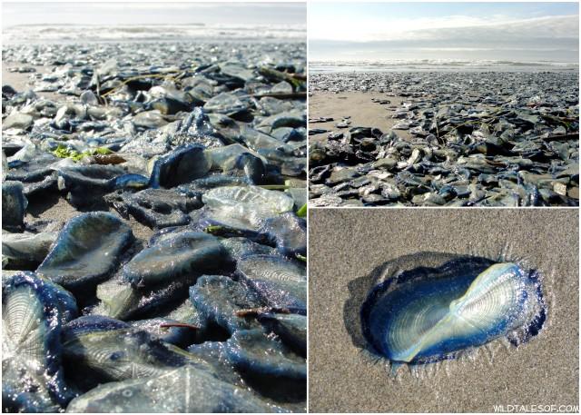 Jellyfish Long Beach Wa