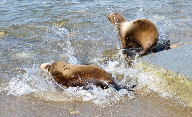 Dawn Day in the Wildlife: Sea Lion Release | WildTalesof.com