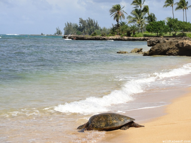 Haleiwa Ali'i Beach: North Shore, Oahu | WildTalesof.com
