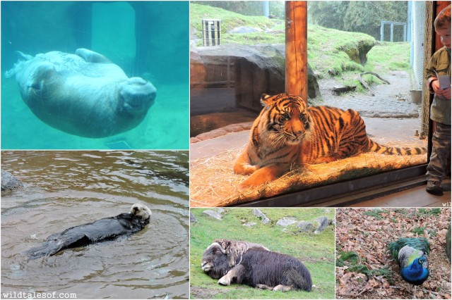 Point Defiance Zoo & Aquarium: Tacoma, WA | WildTalesof.com